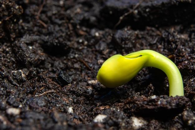 Giovani germogli di girasole su terreno nero Foto Premium