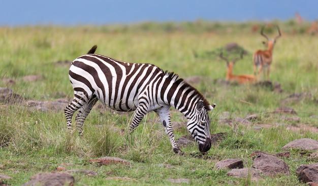 La famiglia zebra pascola nella savana in prossimità di altri animali Foto Premium