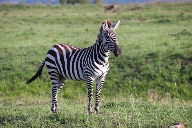Una zebra nel paesaggio verde di un parco nazionale nel kenya Foto Premium