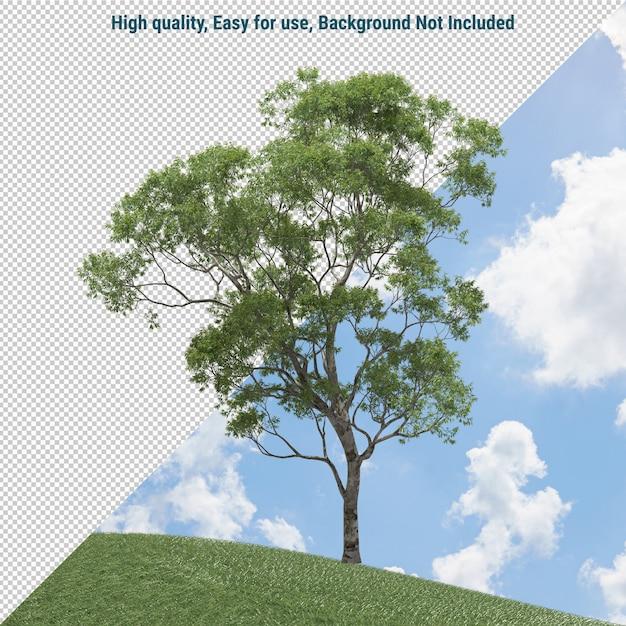 Albero di eucalyptus isolato Psd Premium