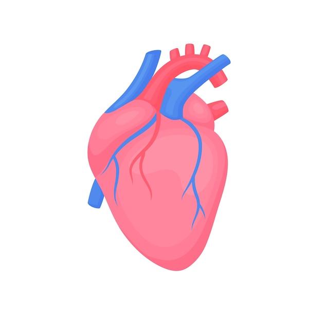 Cuore anatomico isolato. segno del centro diagnostico di cardiologia. design piatto cuore colorato umano. illustrazione di anatomia di scienza medica. Vettore Premium
