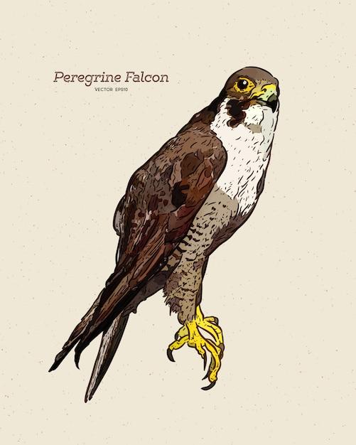 Antica incisione disegno illustrazione del falco pellegrino Vettore Premium