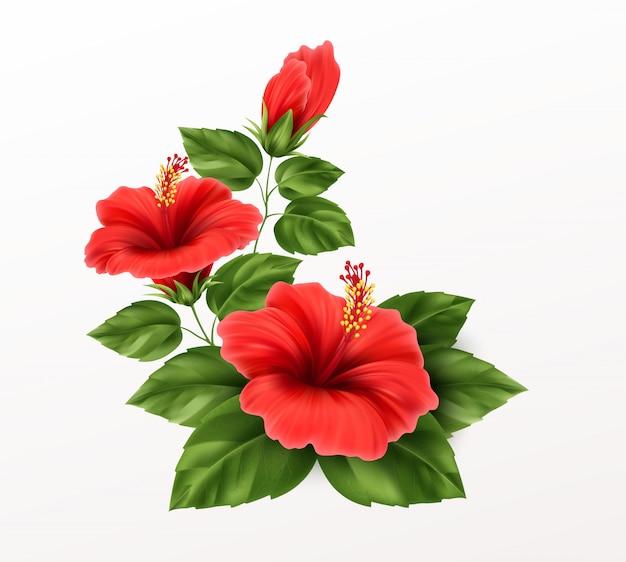 Bello fiore, germogli e foglie dell'ibisco su fondo. pianta tropicale esotica realistica Vettore Premium