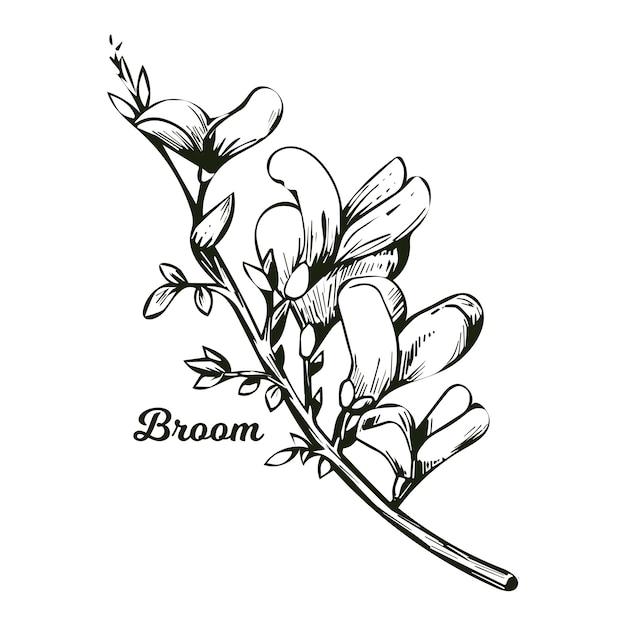 Fiore di ginestra, tintinnio di bosco, erbaccia e lamento, furze, ginestra verde, alga verde, cera di legno di fiori in fiore genista tinctoria, lupino ginestrone e laburno monocromatico. Vettore Premium