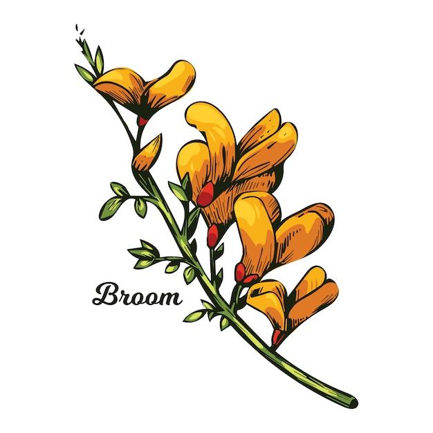 Fiore di ginestra, tintinnio di bosco, erbaccia e lamento, furze, ginestra verde, alga verde, cera di legno di fiori gialli che sbocciano. genista tinctoria, lupino ginestrone e laburno. Vettore Premium