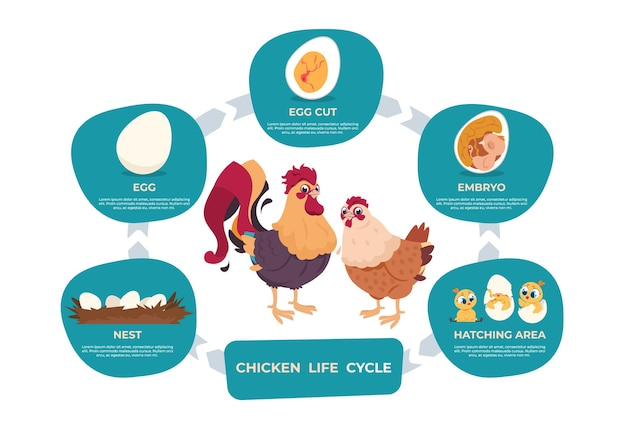 Ciclo di vita del pollo. infografica del fumetto di pollo e gallo con passaggi di vita dal gruzzolo all'embrione bambino e gallina cresciuta. immagini vettoriali impostare uccello sviluppo grafico in natura Vettore Premium