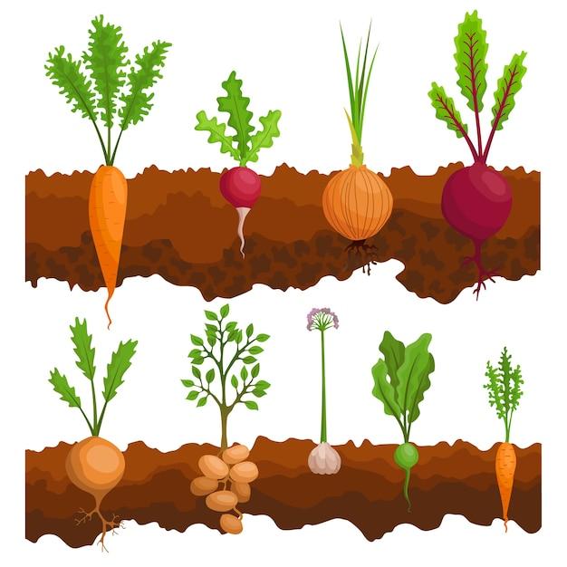 Raccolta se le verdure che crescono nel terreno. piante che mostrano la struttura delle radici sotto il livello del suolo. cibo biologico e sano. banner di orto. poster con verdure di radice. Vettore Premium