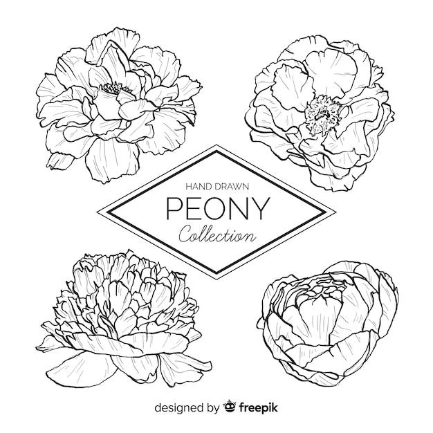 Raccolta di stile disegnato di fiori di peonia in mano Vettore Premium