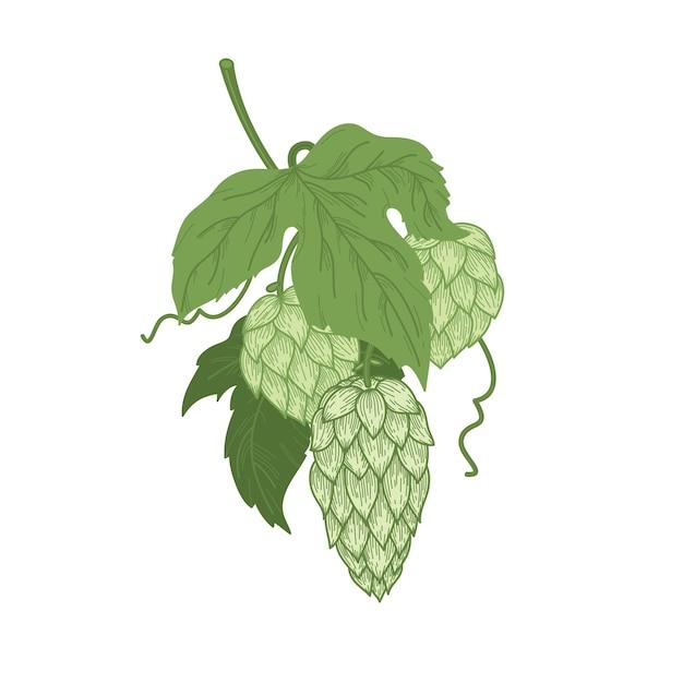 Schizzo a colori della pianta del luppolo, mazzo di luppolo con foglie e coni di luppolo in stile incisione. Vettore Premium