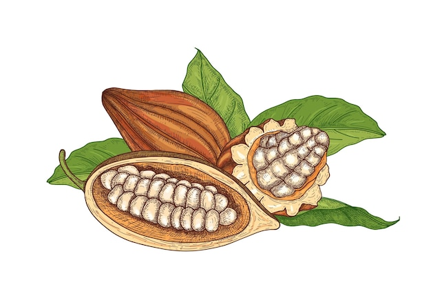 Colorato disegno naturale di baccelli maturi interi e tagliati dell'albero del cacao con fagioli e foglie Vettore Premium