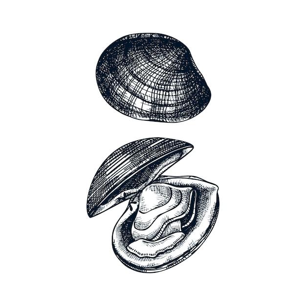 Illustrazioni di vongole cotte atlantiche. molluschi commestibili. elemento ristorante di crostacei e frutti di mare. schizzo di vongole di mare disegnati a mano su priorità bassa bianca. Vettore Premium