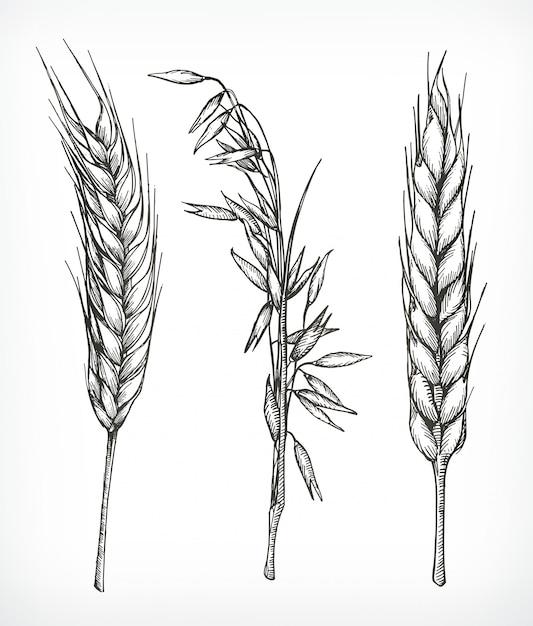 Colture, schizzi di grano e avena, disegno a mano, set Vettore Premium