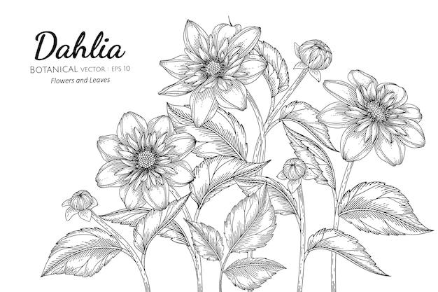 Illustrazione botanica disegnata a mano del fiore e della foglia della dalia con la linea arte su sfondi bianchi. Vettore Premium