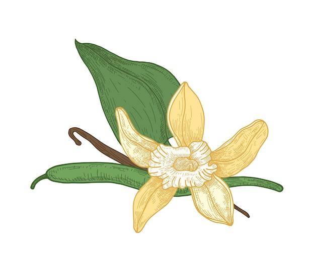 Disegno botanico dettagliato di fiori, foglie e baccelli di vaniglia in fiore Vettore Premium