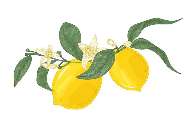 Disegno dettagliato del ramo della pianta di limone con fiori e foglie isolati su bianco Vettore Premium