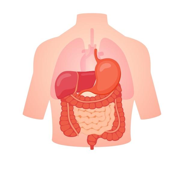 Biologia digestiva anatomia organo intestino tenue intestino crasso fegato stomaco Vettore Premium