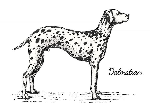 Razza di cane incisa, illustrazione disegnata a mano in stile scratchboard xilografia, specie vintage. Vettore Premium