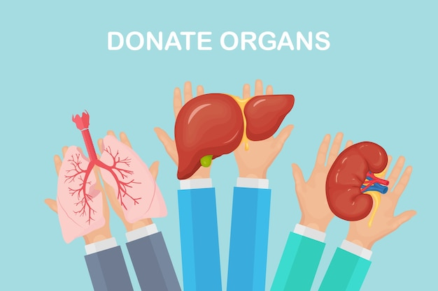 Organi di donazione. le mani dei medici tengono i polmoni, i reni e il fegato del donatore per il trapianto. aiuti volontari Vettore Premium