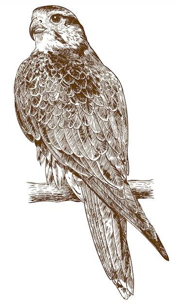 Illustrazione del disegno dell'incisione del falco Vettore Premium