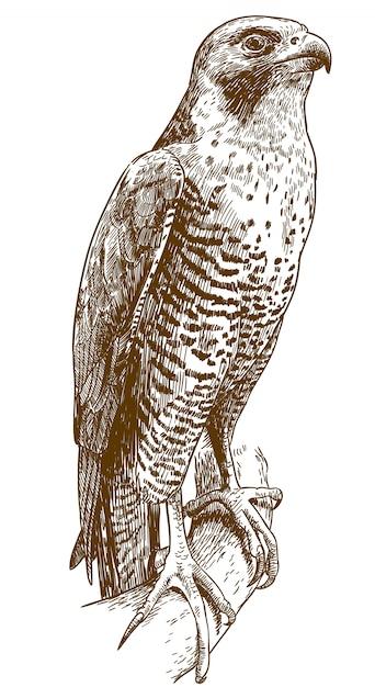 Illustrazione del disegno di incisione del falco Vettore Premium