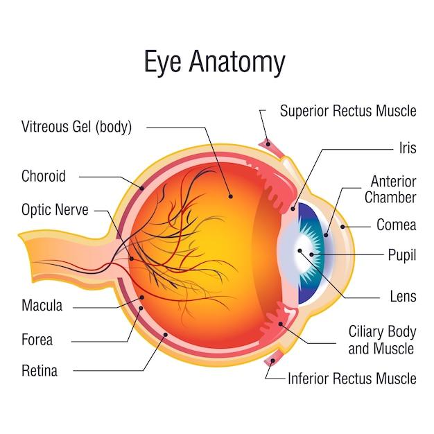 Concetto di informazioni di anatomia dell'occhio, stile del fumetto Vettore Premium