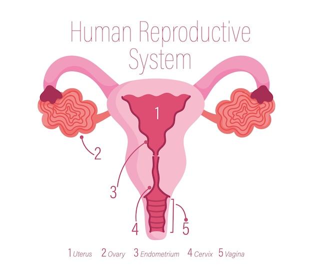 Sistema riproduttivo umano femminile, illustrazione di organi interni sani Vettore Premium