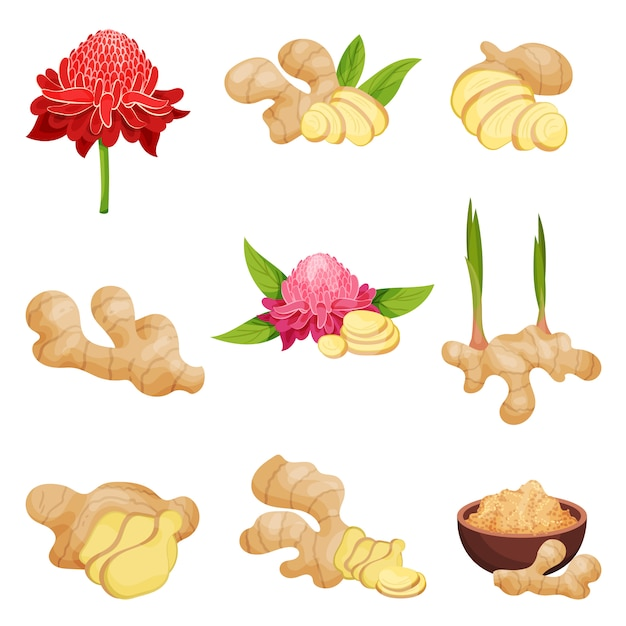 Set piatto vettoriale di icone di zenzero. radici fresche con fettine, fiori e polvere. Vettore Premium