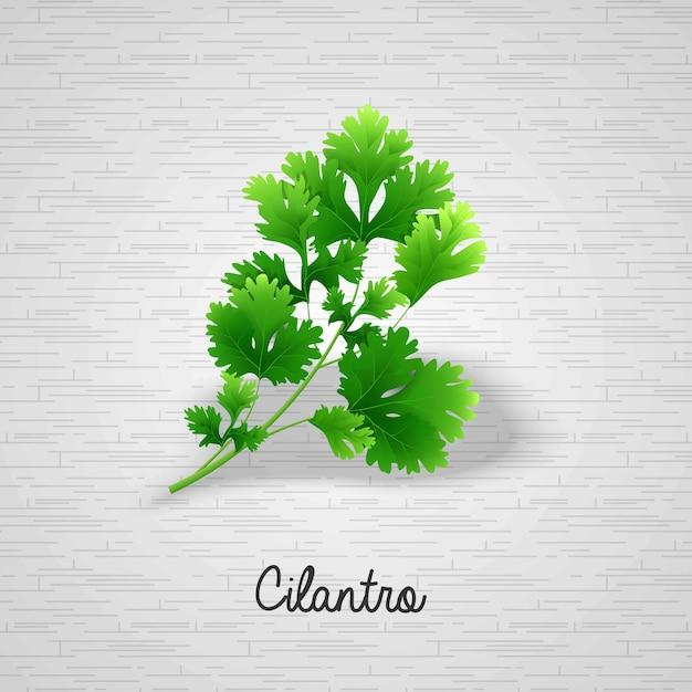 Foglie verdi fresche coriandolo nota per editore Vettore Premium