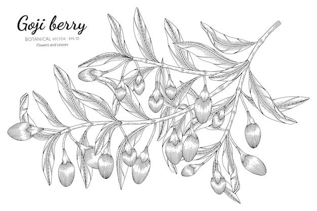 Illustrazione botanica disegnata a mano di frutta di bacche di goji con disegni al tratto su sfondi bianchi. Vettore Premium