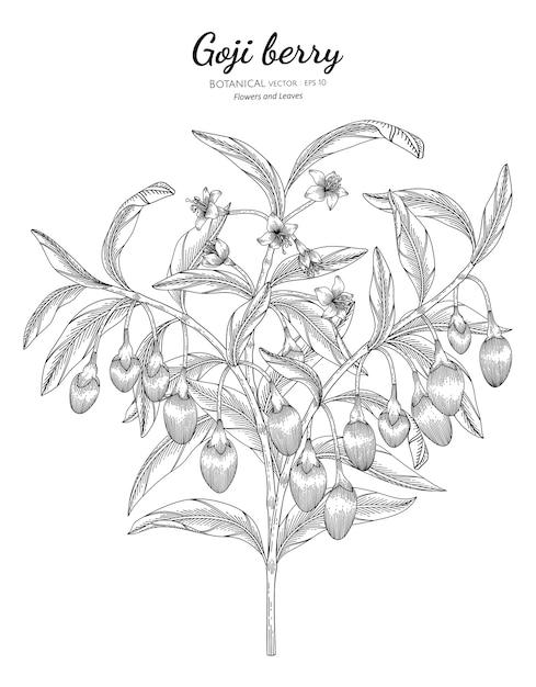 Illustrazione botanica disegnata a mano della frutta della bacca di goji. Vettore Premium