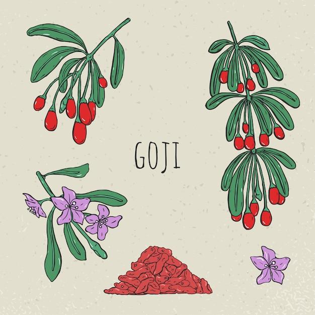 Goji su un set disegnato a mano ramo. raccolta fioritura, bacche secche. Vettore Premium