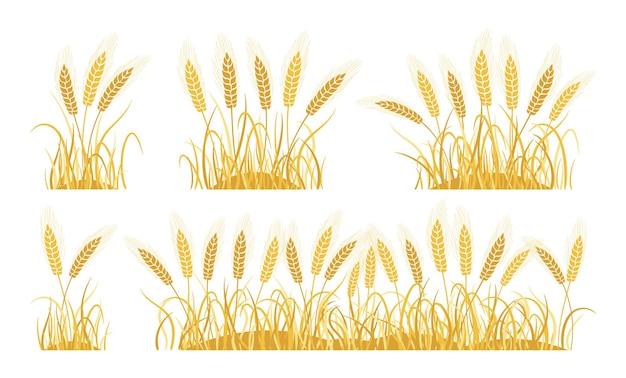 Set di cartoni animati di grano di campo dorato orecchie raccolta di grano maturo spighette produzione di farina di avena agricola da forno Vettore Premium