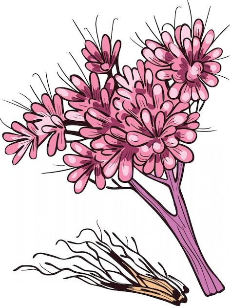 Illustrazione vettoriale di radice di ghiaia isolato su bianco. eutrochium purpureum, erba viola joe-pye Vettore Premium