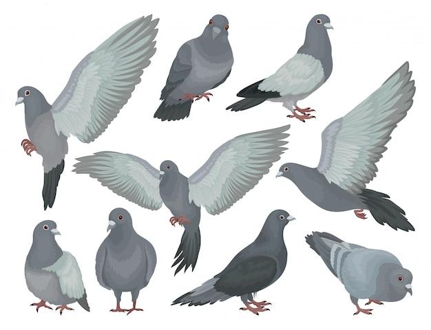 Set di piccioni grigi, colombe in diverse pose illustrazioni su uno sfondo bianco Vettore Premium