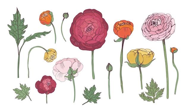 Insieme di elementi floreale colorato disegnato a mano. collezione con fiori di ranuncolo. Vettore Premium