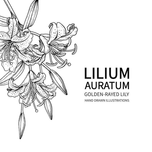 Fiore di giglio dai raggi dorati disegnati a mano (lilium auratum) linea arte nera isolato su sfondi bianchi. Vettore Premium