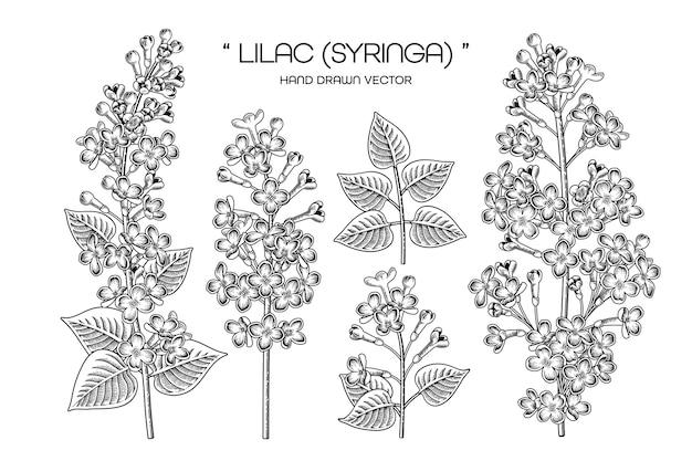 Disegnato a mano syringa vulgaris (lilla comune) fiore decorativo set linea arte nera isolato su sfondi bianchi. Vettore Premium