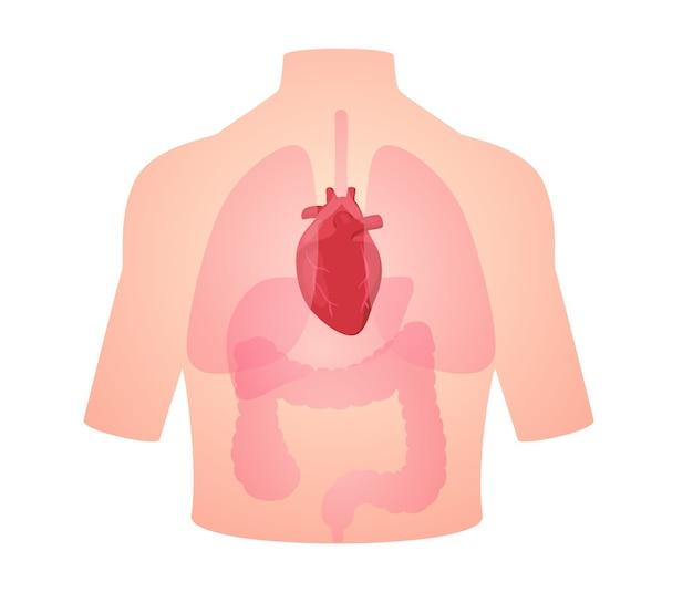 Anatomia umana organo cuore cardiovascolare Vettore Premium
