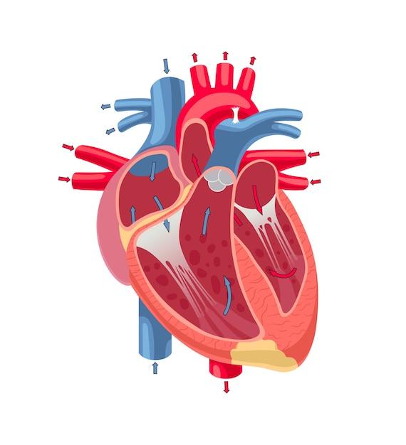 Anatomia del cuore umano isolato su priorità bassa bianca. Vettore Premium