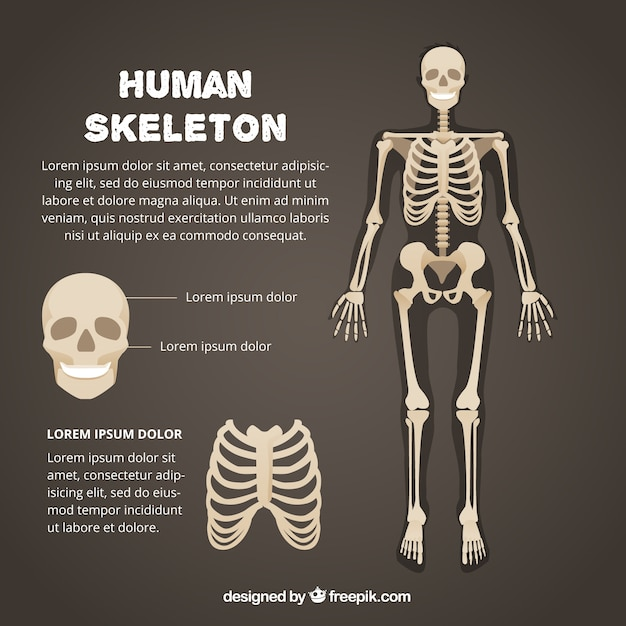 Modello di scheletro umano Vettore Premium