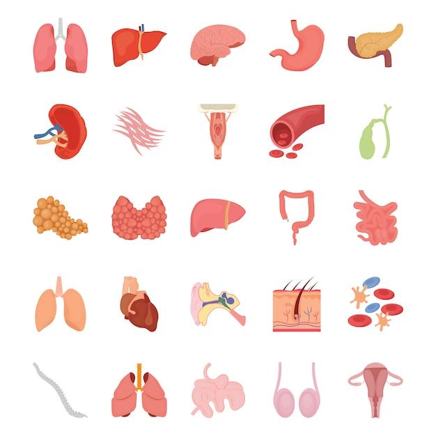 Icone piane di organi umani interni Vettore Premium