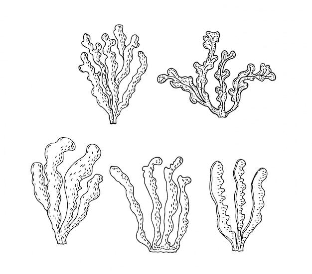 Kelp, illustrazione di alghe brune. disegno su sfondo bianco. oggetto superfood. schizzo di alimenti biologici sani. Vettore Premium