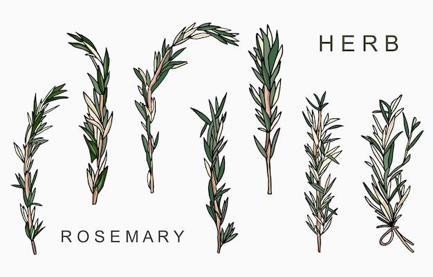 Linea collezione di erbe aromatiche al rosmarino. Vettore Premium