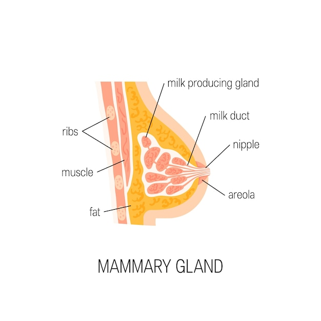 Ghiandola mammaria isolata su bianco Vettore Premium