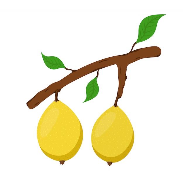 Marula, frutto esotico sul ramo. nutrizione vegetariana fresca Vettore Premium