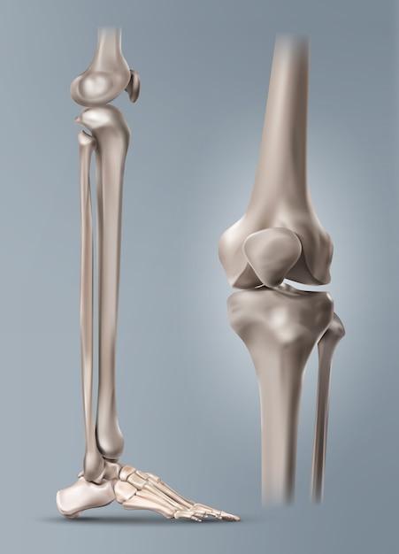 Illustrazione medica della gamba umana o dello stinco e delle ossa del piede con l'articolazione del ginocchio. isolato su sfondo Vettore Premium
