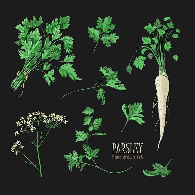 Set di prezzemolo. collezione colorata disegnata a mano con verdure, grappolo, foglia, radice, fiore. Vettore Premium