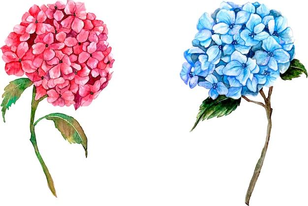 Ortensie rosa e blu su bianco Vettore Premium