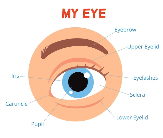 Poster per bambini che imparano. la struttura dell'occhio umano. Vettore Premium