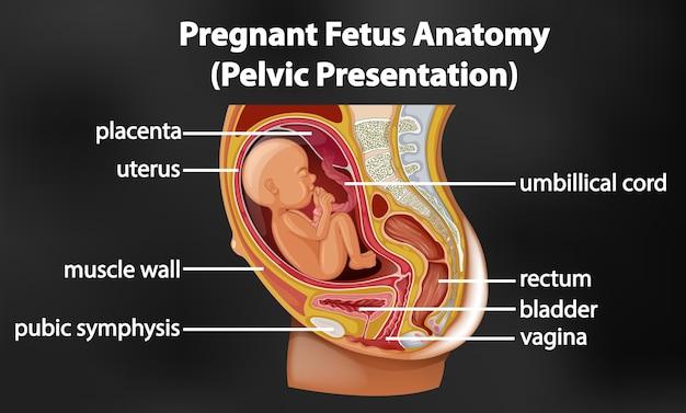 Diagramma di anatomia del feto incinta Vettore Premium